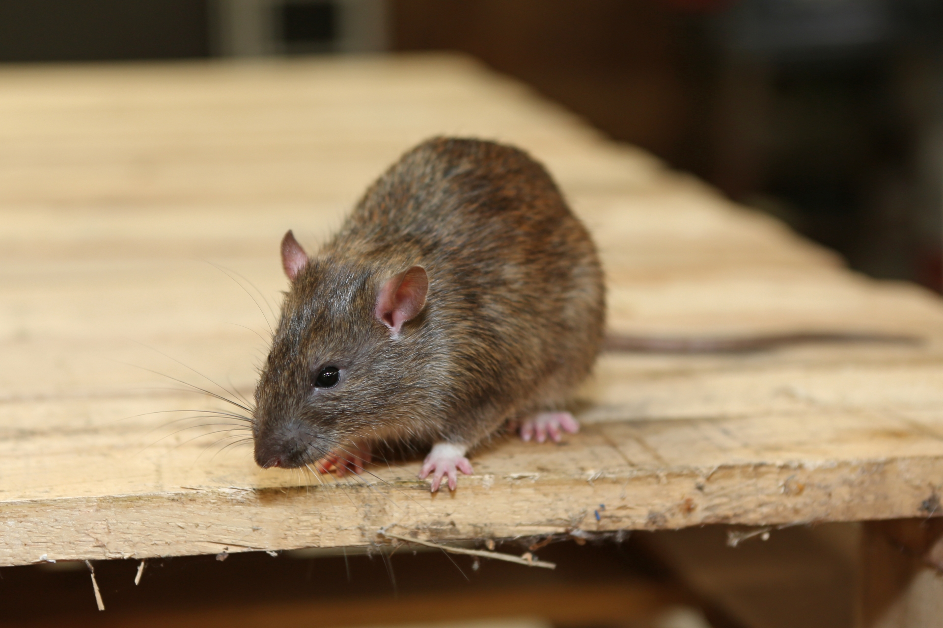 Rat Control, Pest Control in Esher, Claygate, KT10. Call Now 020 8166 9746