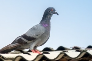 Pigeon Pest, Pest Control in Esher, Claygate, KT10. Call Now 020 8166 9746